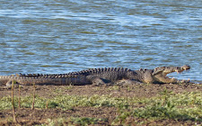 A large male crocodile, 14+ feet. It is difficult to judge the length of a crocodile sometimes and it takes a lot of experience to make an accurate estimate. A large head and blunt round teeth is always a give away for a large old male crocodile.