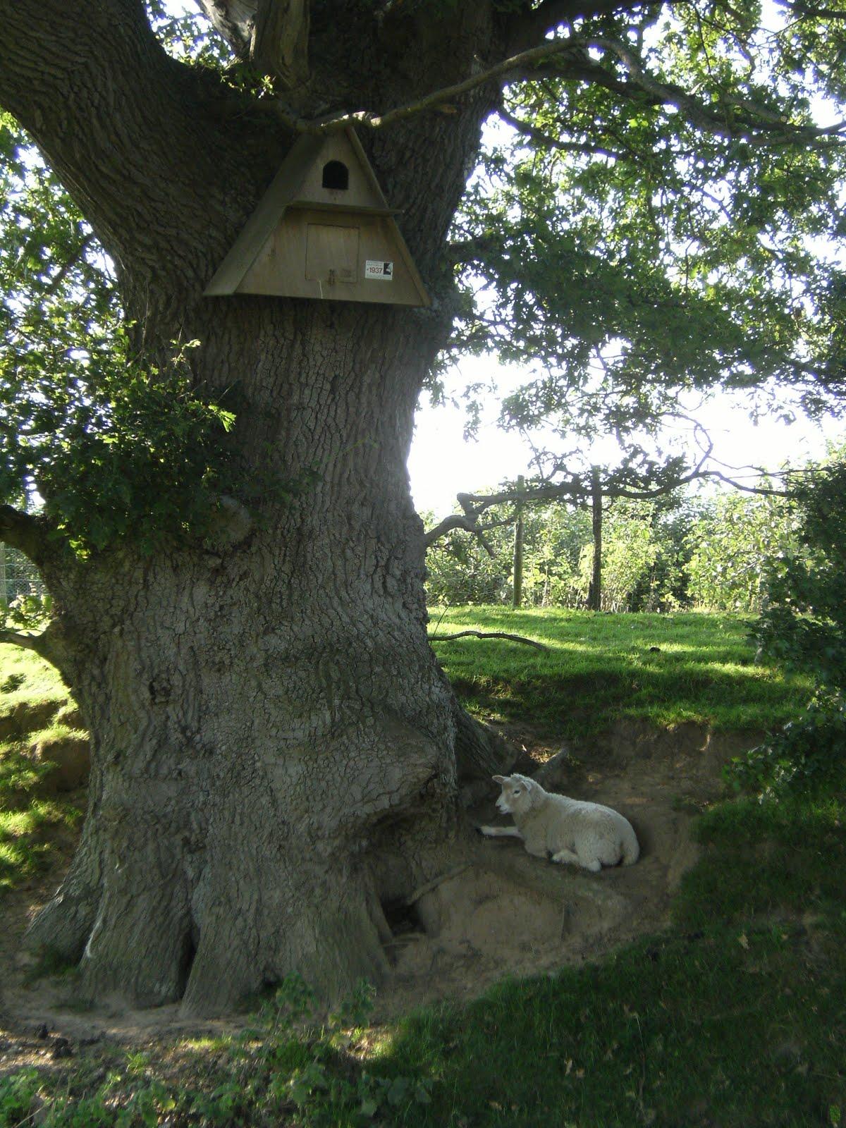 DSCF8759 Lamb guarding Barn Owl nest box