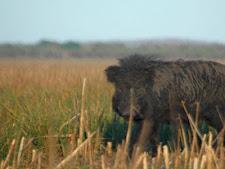 wild_boar_1L.jpg