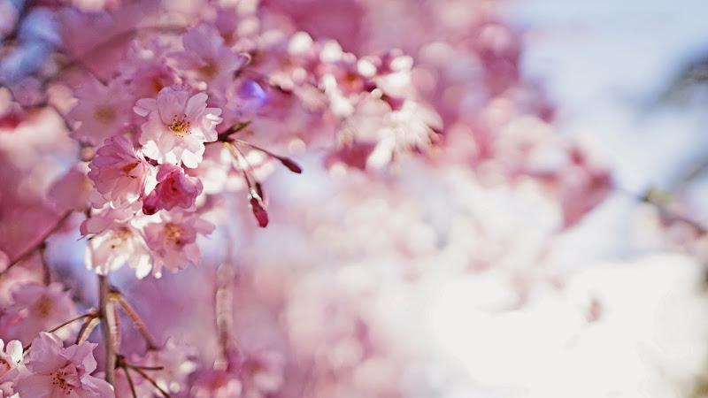 千鳥ヶ淵 桜 写真16