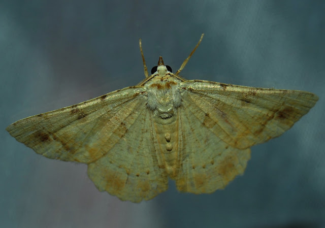 Geometridae : Sterrhinae : probablement : Idaea halmaea MEYRICK, 1888. Umina Beach (N. S. W., Australie), 25 janvier 2012. Photo : Barbara Kedzierski