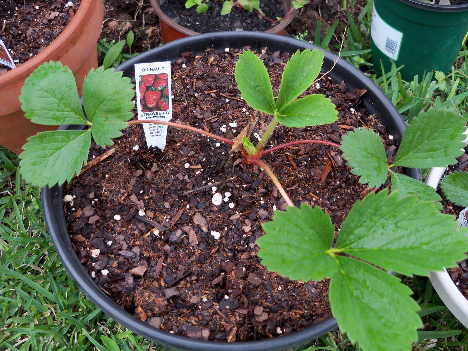 Gardening 2010 - 101_0301.JPG
