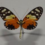 Melinaea ludovica ludovica, CRAMER, (1780), verso. Crique Tortue (4°10'38'' N/52°23'54''O), près de Saut Athanase (Guyane). 20 novembre 2011. Photo : C. Basset