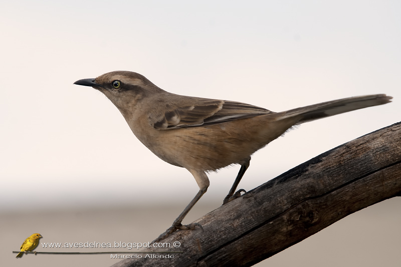 Calandria grande (Chalk-browed Mockingbird) Mimus saturninus