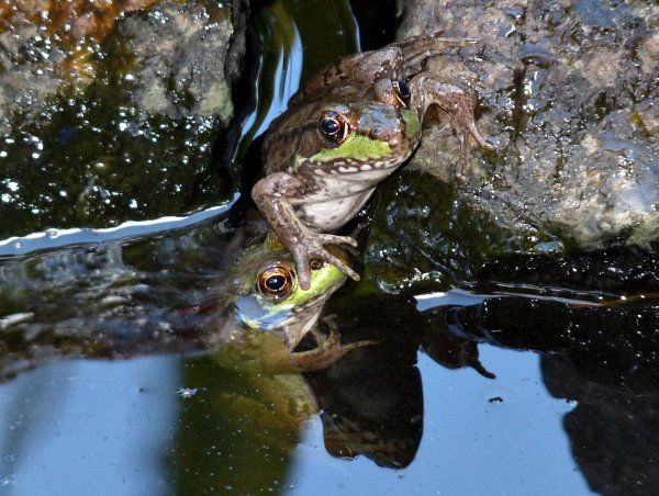 frogs in my pond