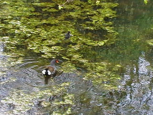 Moorhens on the Pond April 2008 - IMGA3959.jpg