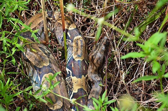 Boa constrictor L., 1758. Piste de Coralie (Guyane). 28 novembre 2011. Photo : M. Belloin