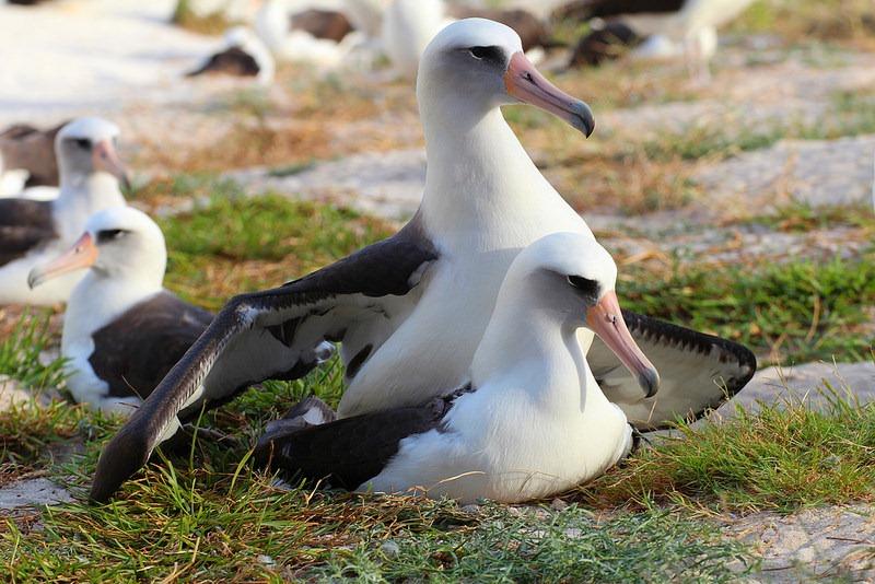 wisdom-albatross-1