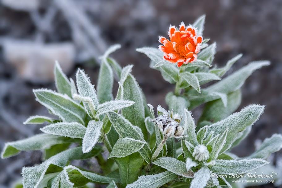 Ноготки лекарственные (Calendula officinalis)