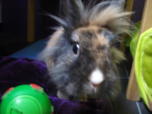 [adoptée]-Nala, lapine noire et marron, avec le bout du nez blanc 81903719D