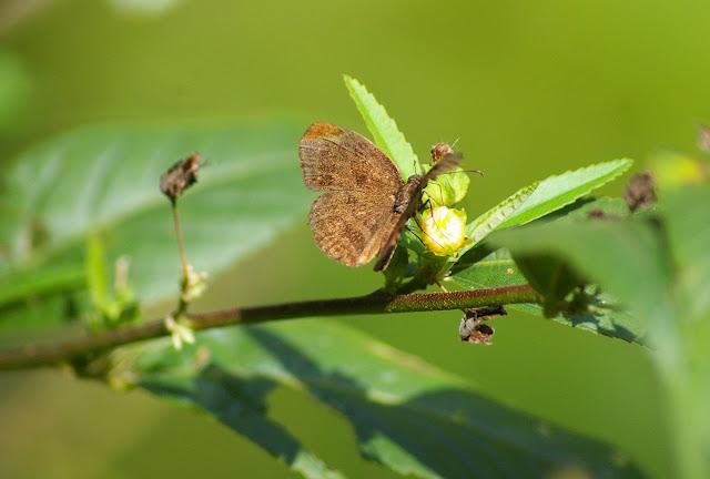 Hesperiidae. Entre Popote et Saül (Guyane), 1er décembre 2011. Photo : J.-M. Gayman