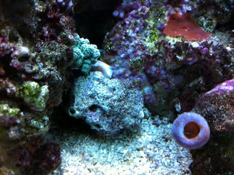 Capnella imbricata (Green Kenya Tree Coral) IMG_0679