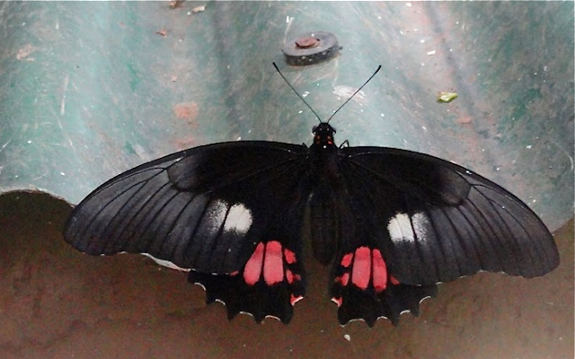 Heraclides anchisiades anchisiades (ESPER, 1788), femelle. Colider (Mato Grosso, Brésil), 9 février 2010. Photo : Cidinha Rissi