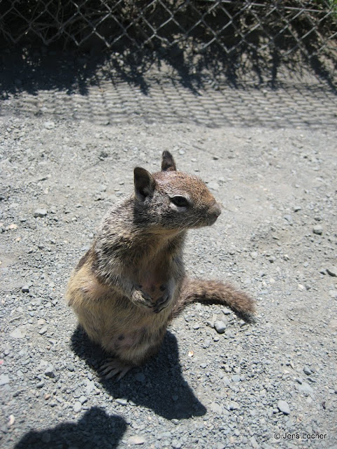 2010 - Ixus_0044_Ground_Squirrel.JPG