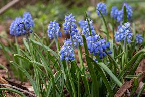 Muscari neglectum (Grape Hyacinth)