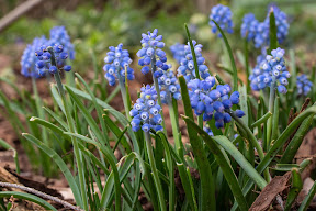 Muscari neglectum (Grape Hyacinth)