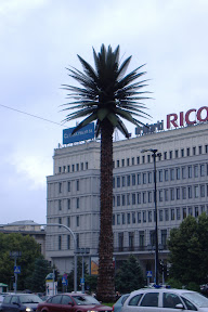 Random palm tree in one of the roundabout thingers in Warsaw
