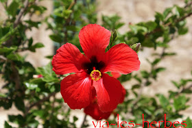 fleur d'hibiscus.jpg