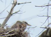 Heron Colony at Libby Hill-016.JPG