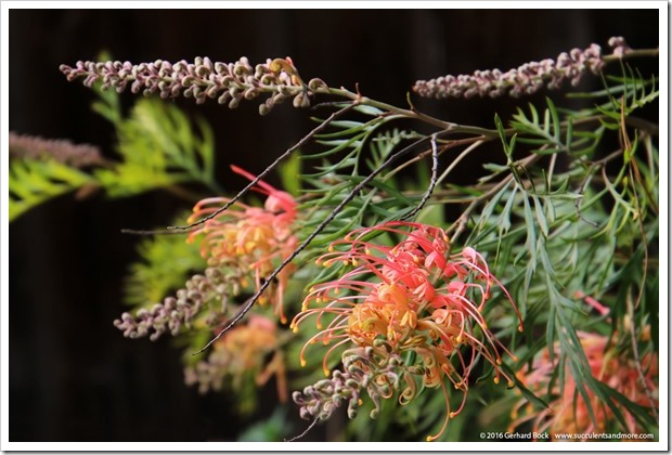 161115_FY_Grevillea-Superb_003