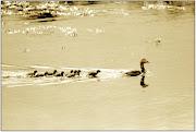 1977 г. Полярная утка гага с выводком