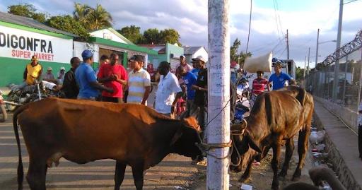 Recuperan en Haití 20 de 30 reses robadas en Montecristi.