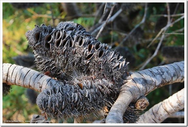 160813_UCSC_Arboretum_-Banksia-marginata_001