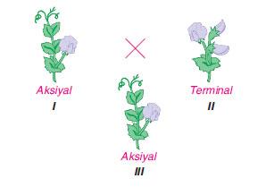 Çiçeklenme durumu aksiyal ve terminal olan iki bezelye