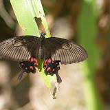 Papilio polytes theseus CRAMER, 1779, femelle ? Volière de papillons de Bali, 6 août 2008. Photo : J.-M. Gayman