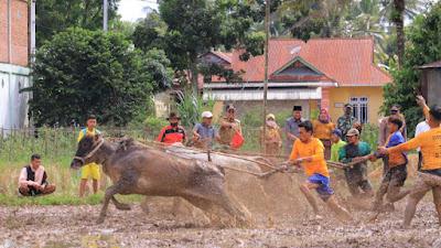 Payakumbuh Bertekad Lestarikan Pacu Jawi Batali Sikek