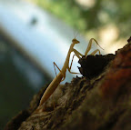 Mantis, Gottesanbeterin