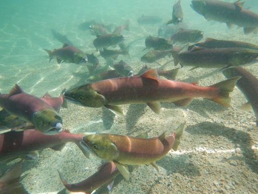 This 10 September 2014 photo provided by the Idaho Dept. of Fish and Game shows a mixture of wild and hatchery-raised sockeye salmon released into Redfish Lake in central Idaho to spawn naturally. Photo: Chris Kozfkay / AP