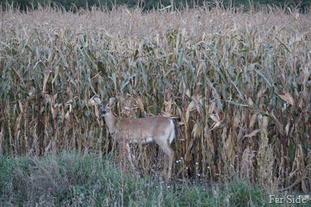 Deer in the corn