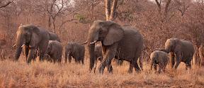 Elephant Breeding Herd, South Africa