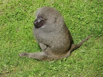 2017.08.06-025 babouin