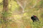 LES MYRTILLES QUI CACHET LA FORET   Malgré ses 4 kg, le coq sait se dissimuler dans le sous-bois et passer inaperçu sans aucun problème.