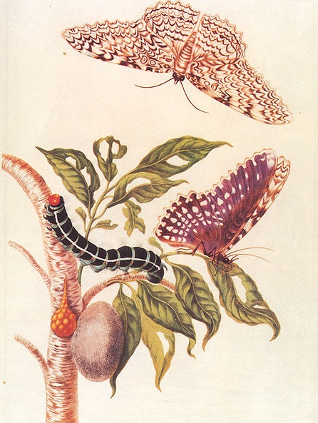 merian  insect metamorphosis picture