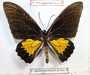 TROIDES OBLONGOMACULATUS.JPG