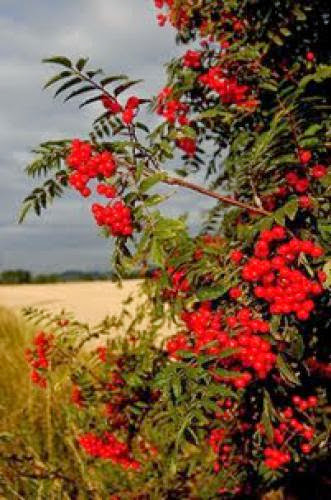 Celtic Tree Month Of Rowan Begins Today