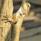 Chiang Mai - Gecko
