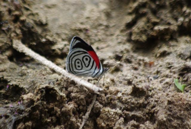 Diaethria euclides phlogea (Salvin & Godman, 1868) (?). Cupiagua, 720 m (Casanare, Colombie), 5 novembre 2015. Photo : J.-M. Gayman