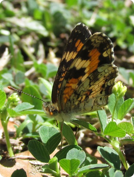 11 Withlacoochee Trail - Phaon Crescent - Phyciodes phaon Butterfly (3)