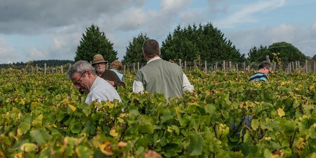 Petites vendanges 2017 du chardonnay gelé. guimbelot.com - 2017-09-30%2Bvendanges%2BGuimbelot%2Bchardonay-175.jpg