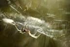 SURFE SUR SA TOILE  Araignée (genre Metallina) sur sa toile à contre-jour, plaine du Fier (74)
