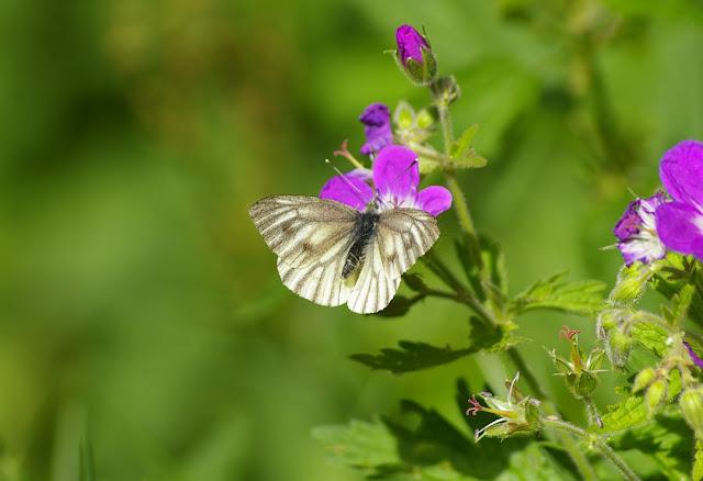 Pieris bryoniae HÜBNER, 1806, femelle (2200 m). Lac d'Allos (Alpes de Haute Provence), 10 juillet 2010. Photo : J.-M. Gayman