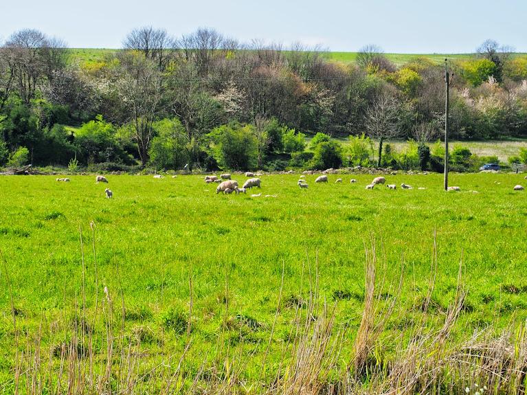 baby lambs shoreham