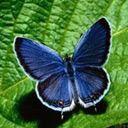 Plavi leptir download besplatne pozadine slike za mobitele