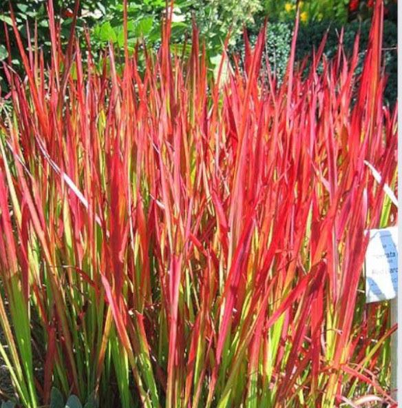 Hierba roja del japón instalada en jardines verticales