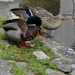 Abreuvoir de la Bonde : canards