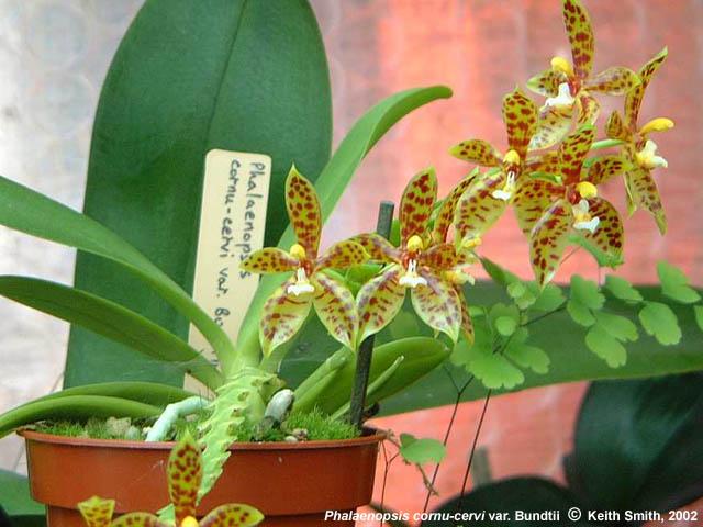 Растения из Тюмени. Краткий обзор - Страница 7 Phalaenopsis%252520cornu%252520cervii